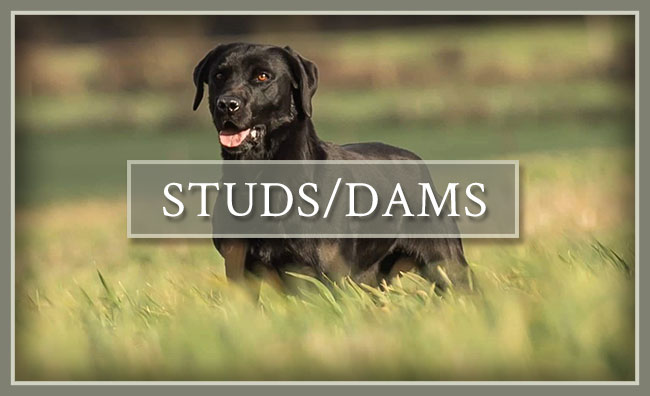 Heartwood Retrievers, LLC Studs & Dams