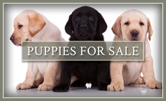 Heartwood Retrievers, LLC Puppies For Sale